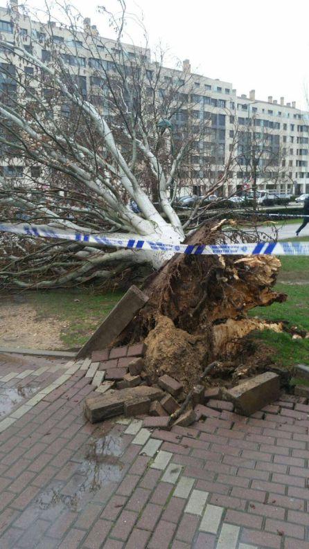 Herido tras la caída de un árbol de grandes dimensiones
