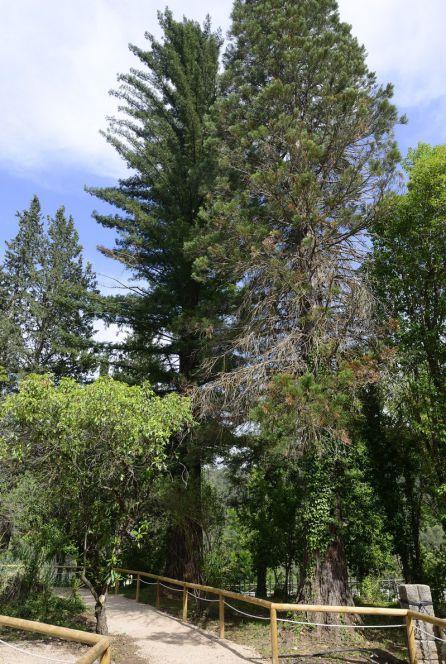 Secuoyas gigantes junto a la casa forestal