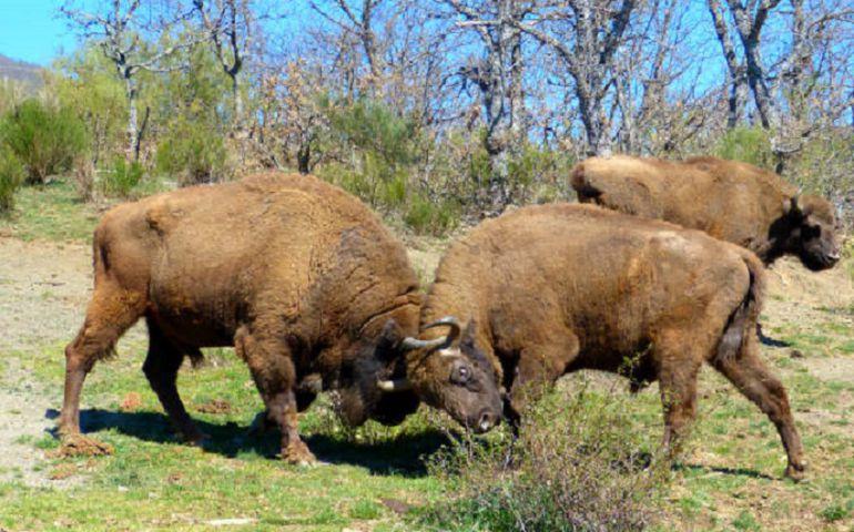 Bisontes europeos
