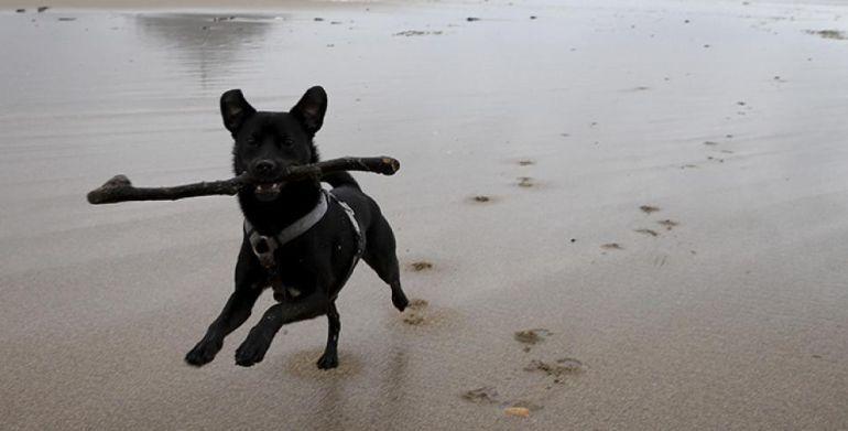 Un perro sujeta una rama en una playa