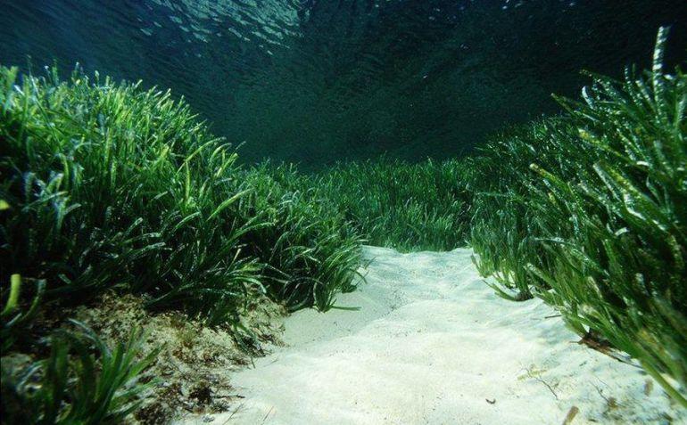 La comunidad científica quiere proteger las praderas de posidonia en el Mar Balear.