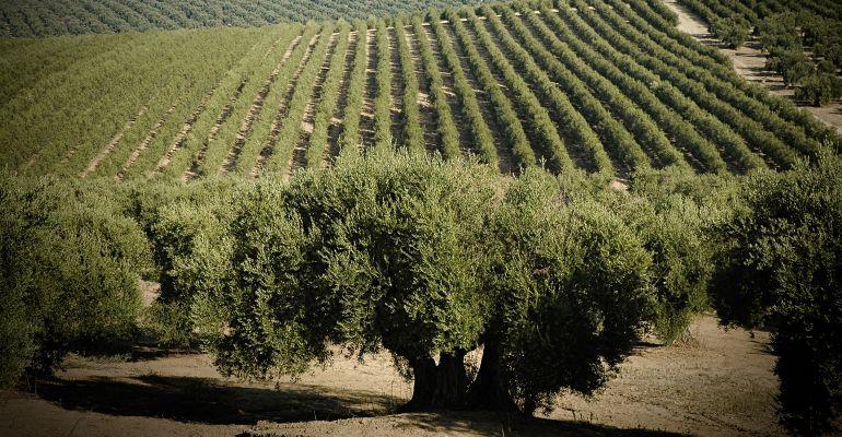 Campo de olivares.
