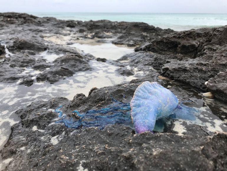 Uno de los ejemplares de medusa retirados en Formentera