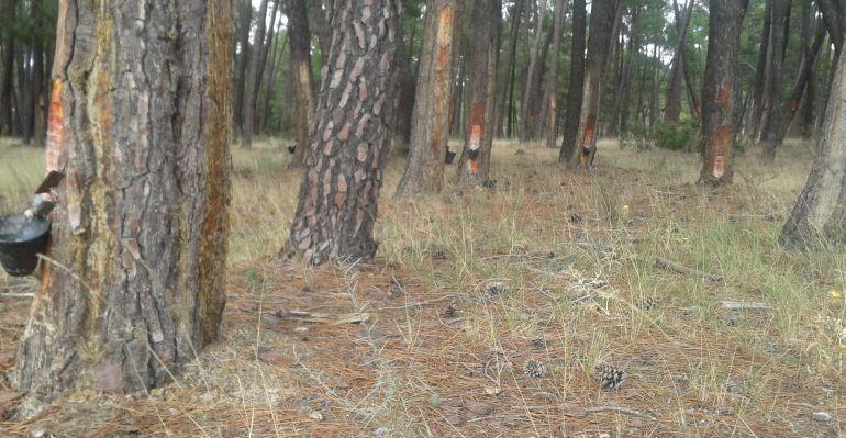 La nueva empresa de aprovechamiento forestal ha hecho ya 85 contratos