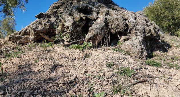 Granada: Datan en una sola finca 1.500 olivos centenarios