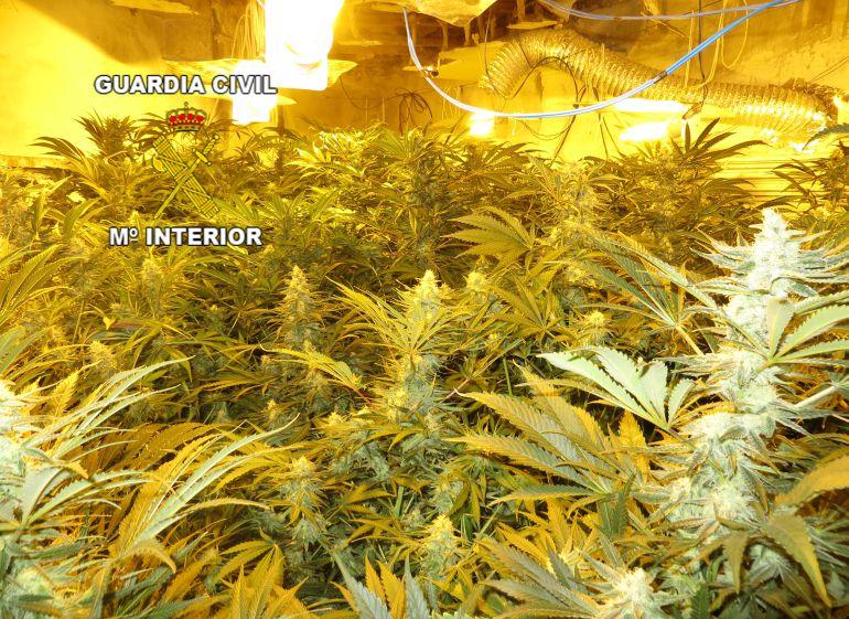 Se desarticulan tres palntaciones de marihuana en Pozo Aldón