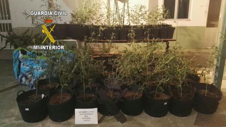 Plantas intervenidas en Santisteban del Puerto por los agentes de la Benemérita a dos jóvenes de la Estación Linares-Baeza