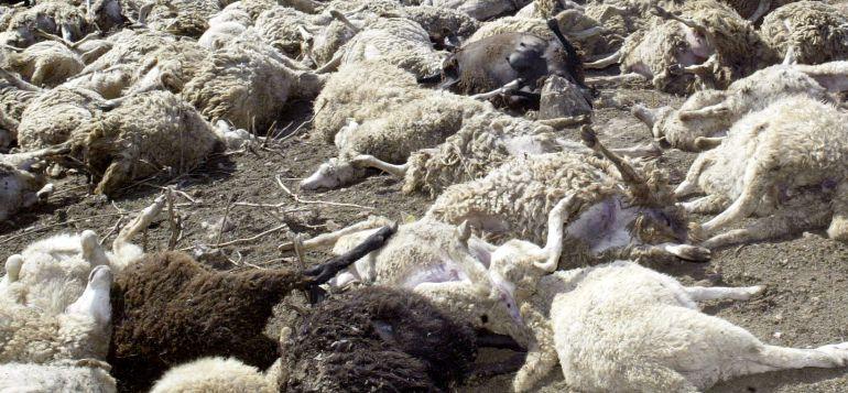 Más de un centenear de ovejas ha matado el lobo en la localidad zamorana de Montamarta