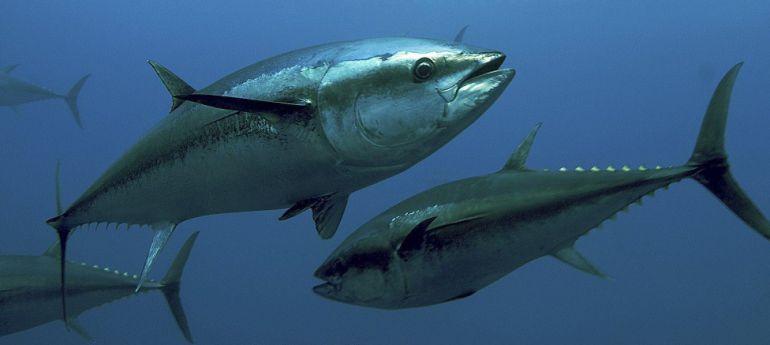 Bermeo, capital mundial del atún