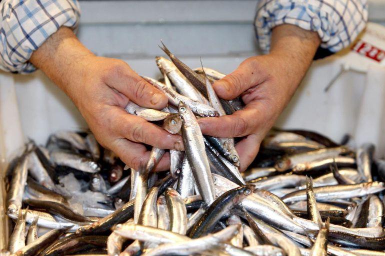Bocartes pescados en Cantabria