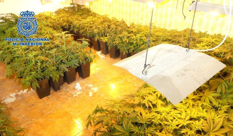 Dos detenidos e incautadas 806 plantas de marihuana en Jaén