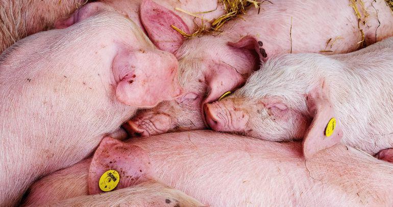Abierto el plazo de alegaciones a la macrogranja de cerdos en Mota