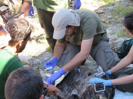 Veterinarios y técnicos de la Fundación Gypaetus proceden al marcaje del ejemplar tras haber realizado una inspección veterinaria
