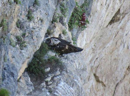El pollo de Tono y Blimunda es devuelto al nido tras haber quedado marcado para su seguimiento.