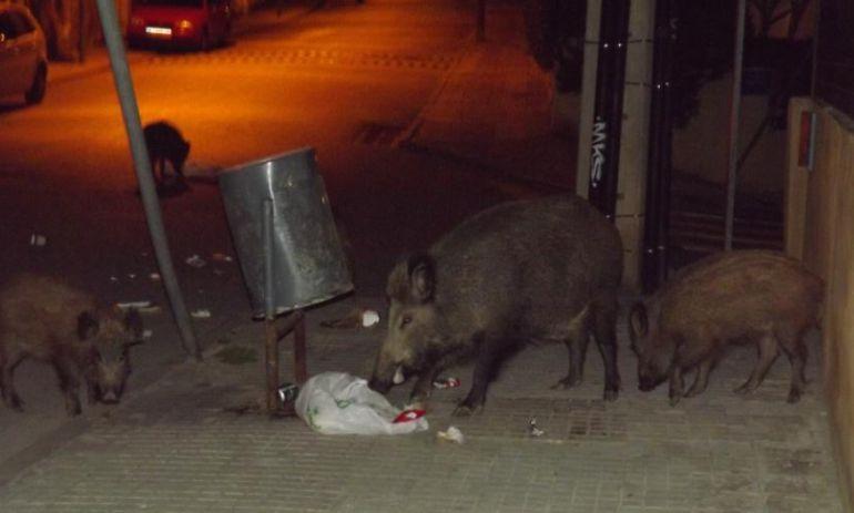 Un grup de senglars menjant d'una paperera a un carrer de Barcelona