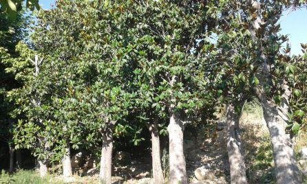 Magnolios plantados en el vivero municipal, retirados de la plaza de Santa María.