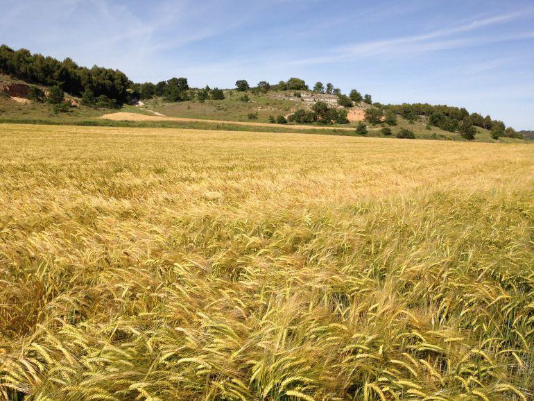 Preocupación en UPA Palencia por la bajada de precios del cereal y el forraje