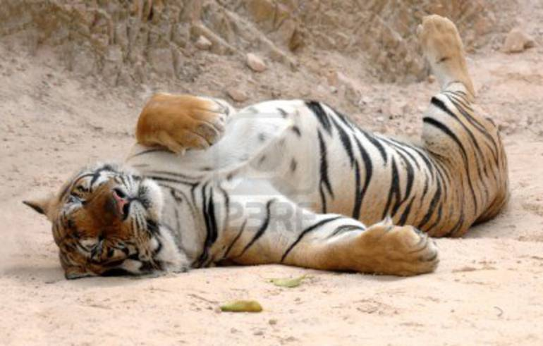 Un gimnasio incorpora un tigre para animar a sus clientes a correr