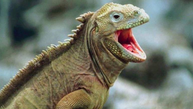 Un zoológico de Japón incorpora una iguana peich