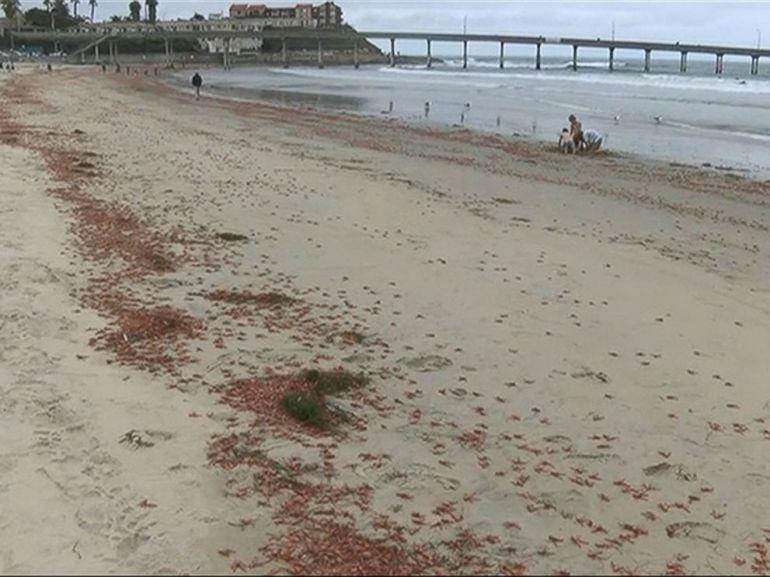 una plaga de camarones invade las playas de san diego california hora 14 fin de semana. Black Bedroom Furniture Sets. Home Design Ideas