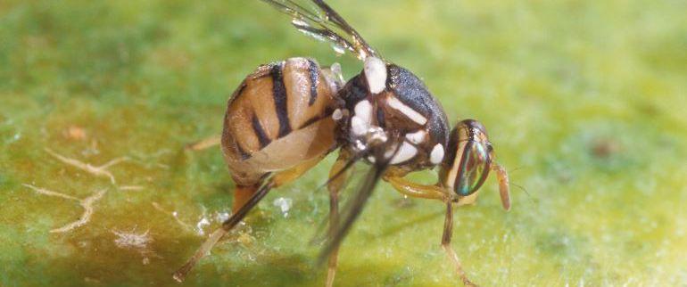Ejemplar de mosca del olivo.