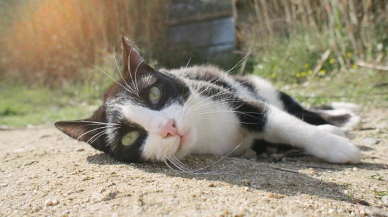 Gato tumbado en el campo