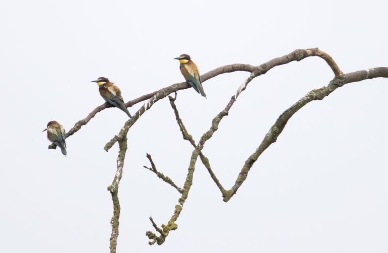 Tres pájaros agrupados en la rama de un árbol.