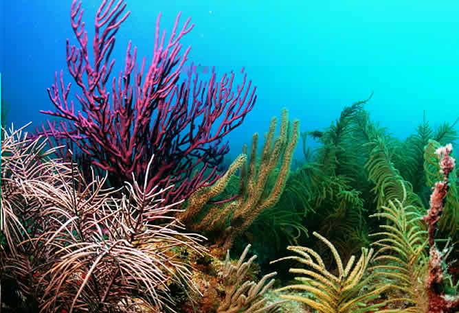Imagen de corales del Caribe.