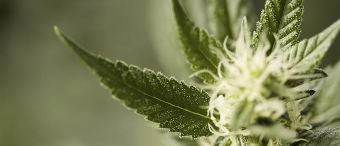 Imagen de una planta de marihuana