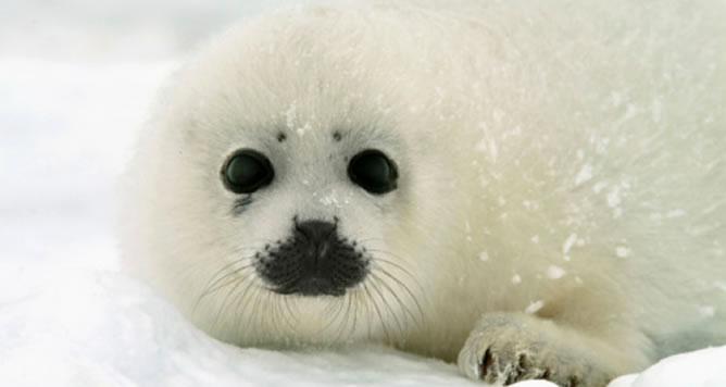 El deshielo en el norte de Canadá ha provocado la muerte del 80 por ciento de los bebés foca en el 2011