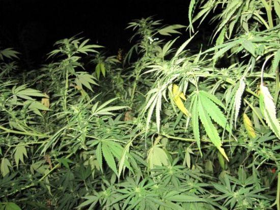 20 Ajuntaments demanaran al Parlament que canviï la llei sobre la marihuana