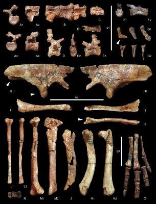 Se han encontrado vértebras, parte de la cadera y del miembro trasero, incluyendo un pie prácticamente completo.