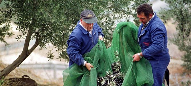 Recogida de aceituna en un olivar de Jaén (imagen de archivo).
