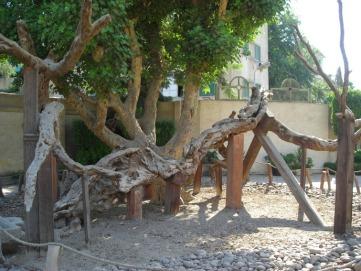 Arbol de la Virgen María en Matareia