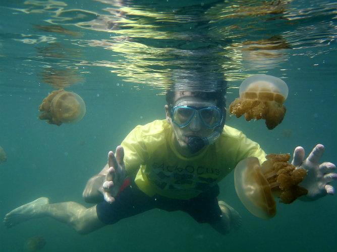 Las medusas del lago de agua salada de Kabakan, tienen una particularidad: han perdido el poder urticante en un hábitat sin especies depredadoras