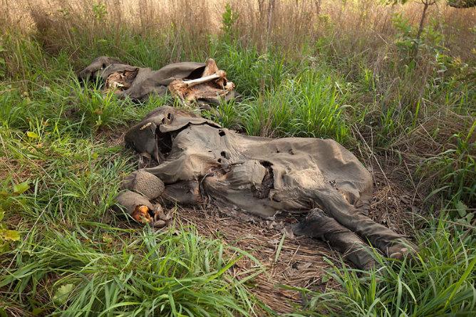 Cadáveres de elefantes en el norte de Camerún tras una fuerte redada de cazadores furtivos