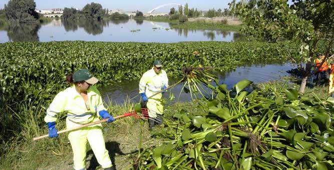 Jacinto de agua o Camalote, tienen la capacidad de cubrir la superficie de los ríos formando una especie de alfombra que impide el paso de la luz, afectando a la vida subacuática.