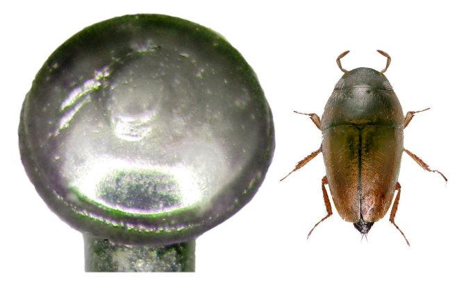 Uno de los escarabajos descubiertos por el profesor Delgado (Limnebius dioscoridus) es más pequeño que la cabeza de un alfiler