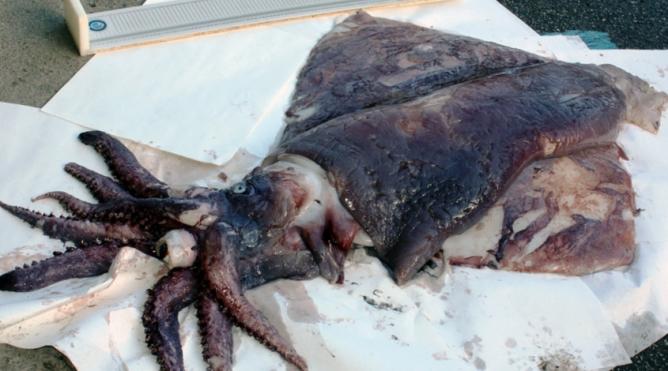 El ejemplar ha sido capturado en aguas del norte de Galicia, a unos 240 metros de profundidad.