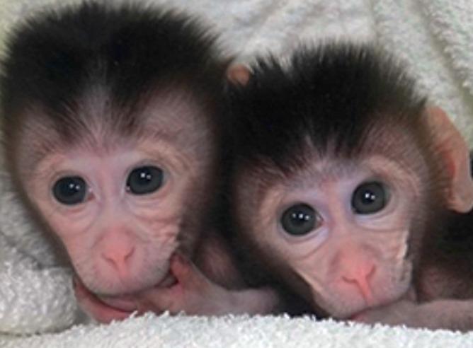 Macacos bebés gemelos modificados geneticamente