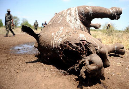 Un rinoceronte muerto y sin cuerno en el Parque Nacional Kruger.