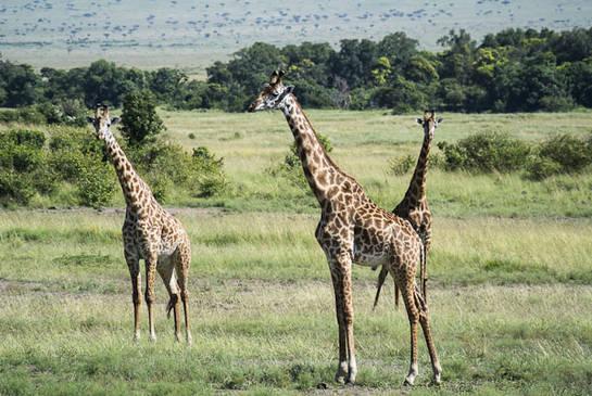 Jirafas Masai Mara-Paco Nadal