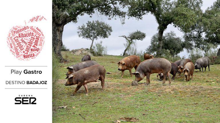 Cerdos ibéricos en la Dehesa de Extremadura.