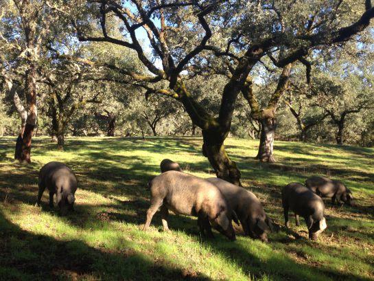 Cerdos ibéricos comiendo bellota en la Finca Montefrío.