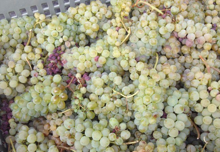 """La godello se caracteriza por un racimo pequeño con la uva bastante suelta. Pero según María José Yravedra, lo más importante es la piel: """"Ahí es donde están los aromas y los componenetes que van a dotar al vino de personalidad""""."""