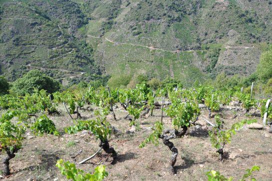 Muchos de los viñedos de Ribeira Sacra superan el 50 % de desnivel.