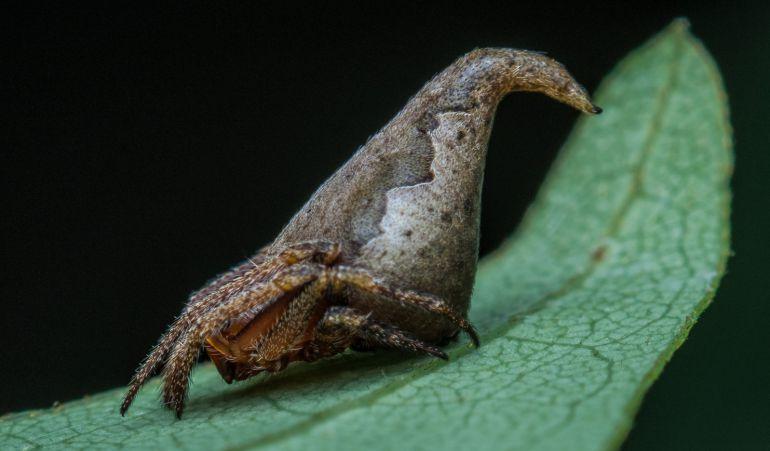 La nueva especie de araña guarda gran parecido al 'Sombrero Seleccionador'.