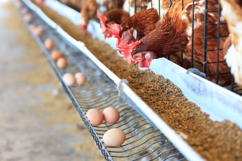 Granja de gallinas ponedoras.