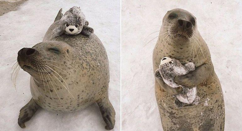 La foca se encuentra en un zoológico en Japón.