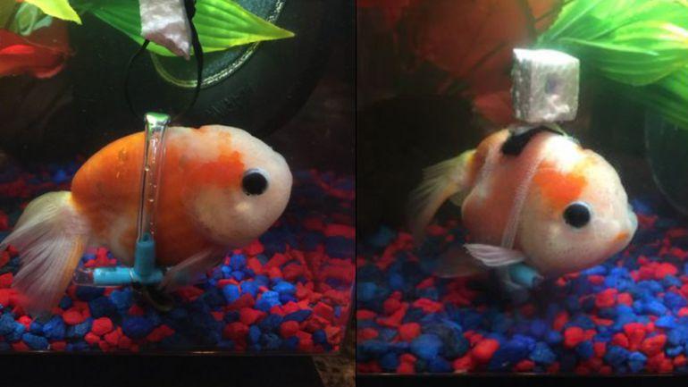 El pez padece un trastorno de vejiga natatoria que le impide flotar.